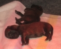 puppies-5-days-2-800x646